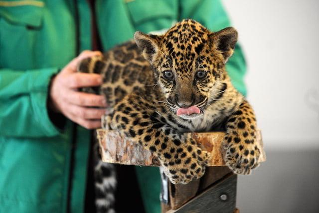 Jaguarul Mihai, cea mai noua vedeta de la Gradina Zoologica Sibiu. A fost alaptat de o catelusa