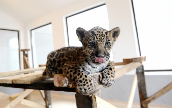 puiul de jaguar mihai de la zoo sibiu