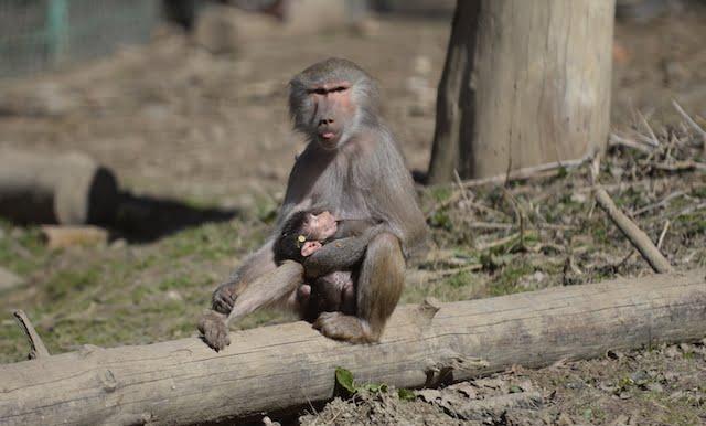 Un nou locuitor la Zoo Sibiu. Un pui de maimuta!