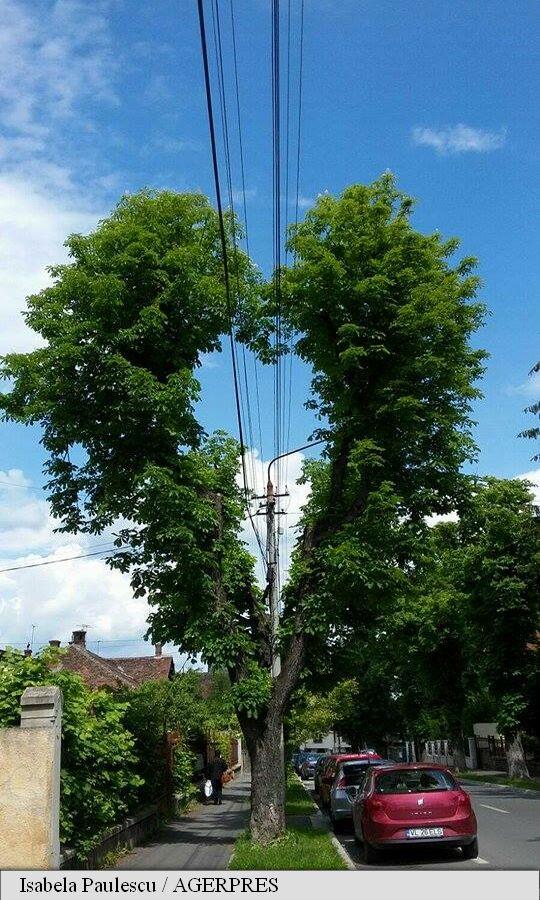 copacul iubirii din sibiu