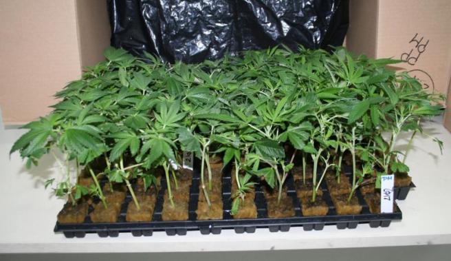 """Mediesean retinut pentru ca facea """"agricultura"""" in curtea casei. Plantele sale il vor duce la inchisoare!"""