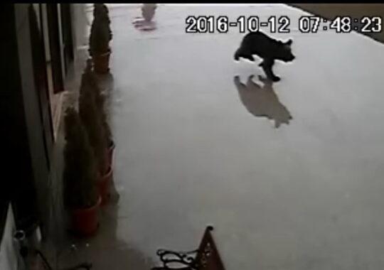 Noi imagini cu ursul care alearga prin Sibiu. E speriat si nu are intenta sa atace pe nimeni!
